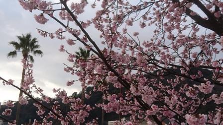 大寒桜.JPG
