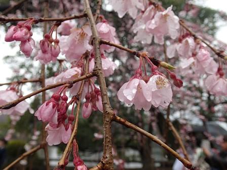 枝垂桜up.JPG