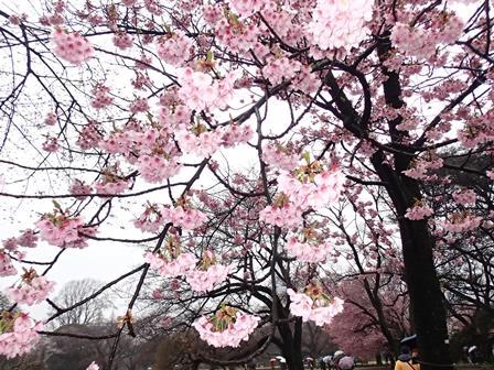 横浜緋桜.JPG