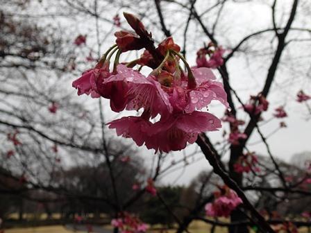 横浜緋桜up.JPG