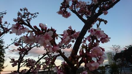 熱海桜.jpg